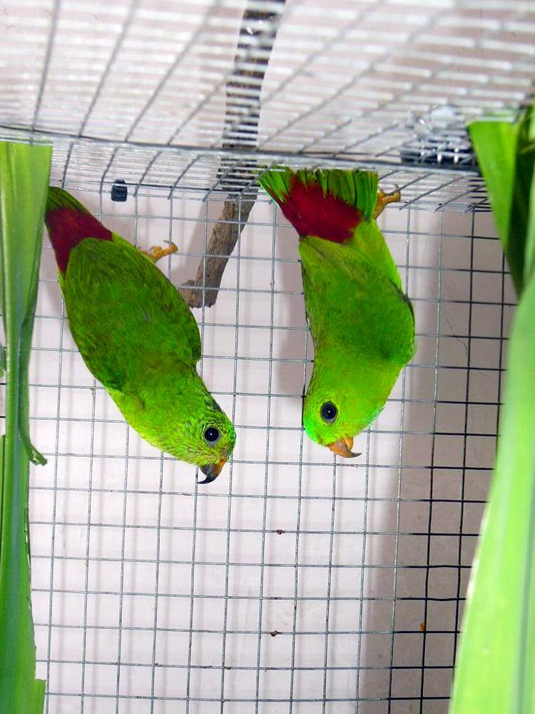 Serindit disebut hanging parrot, karena memiliki perilaku senang menggantung.