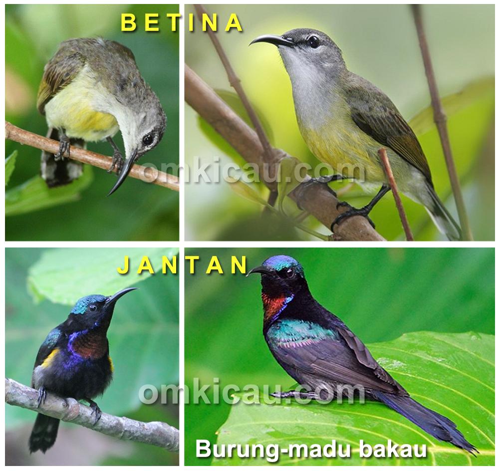 Sebagai burung dimorfik, jenis kelamin burung-madu mudah dibedakan.