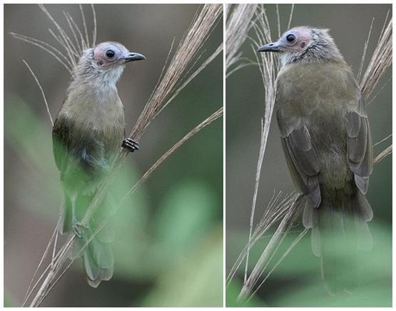 Burung botak bersuara merdu