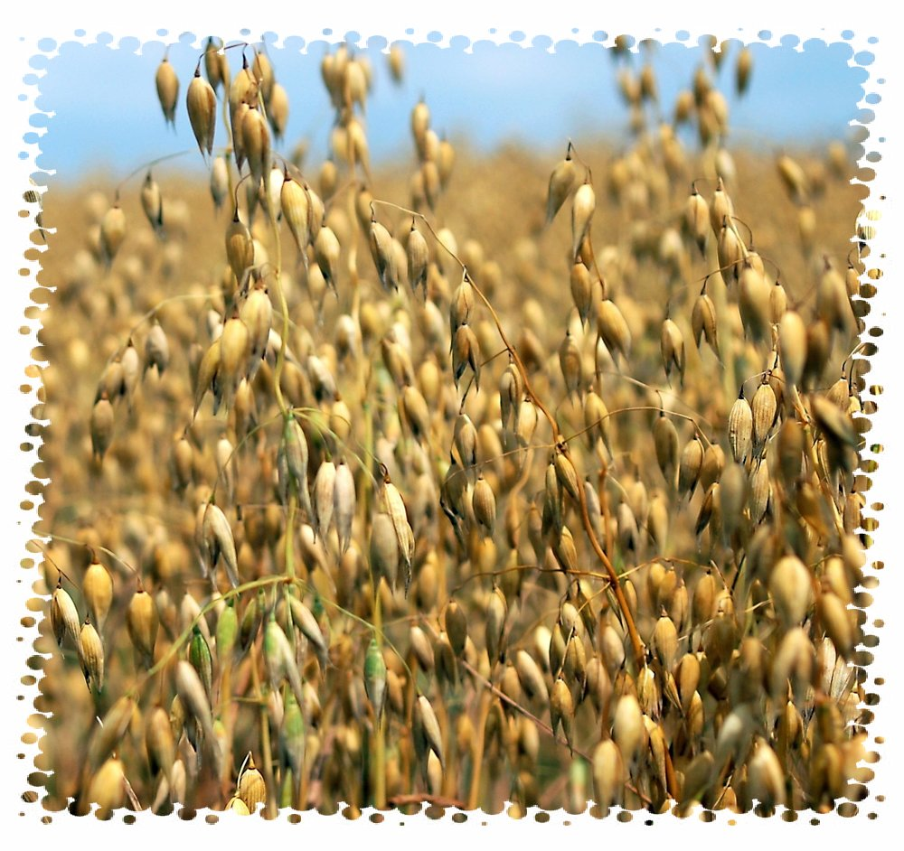 Tanaman oat siap panen.