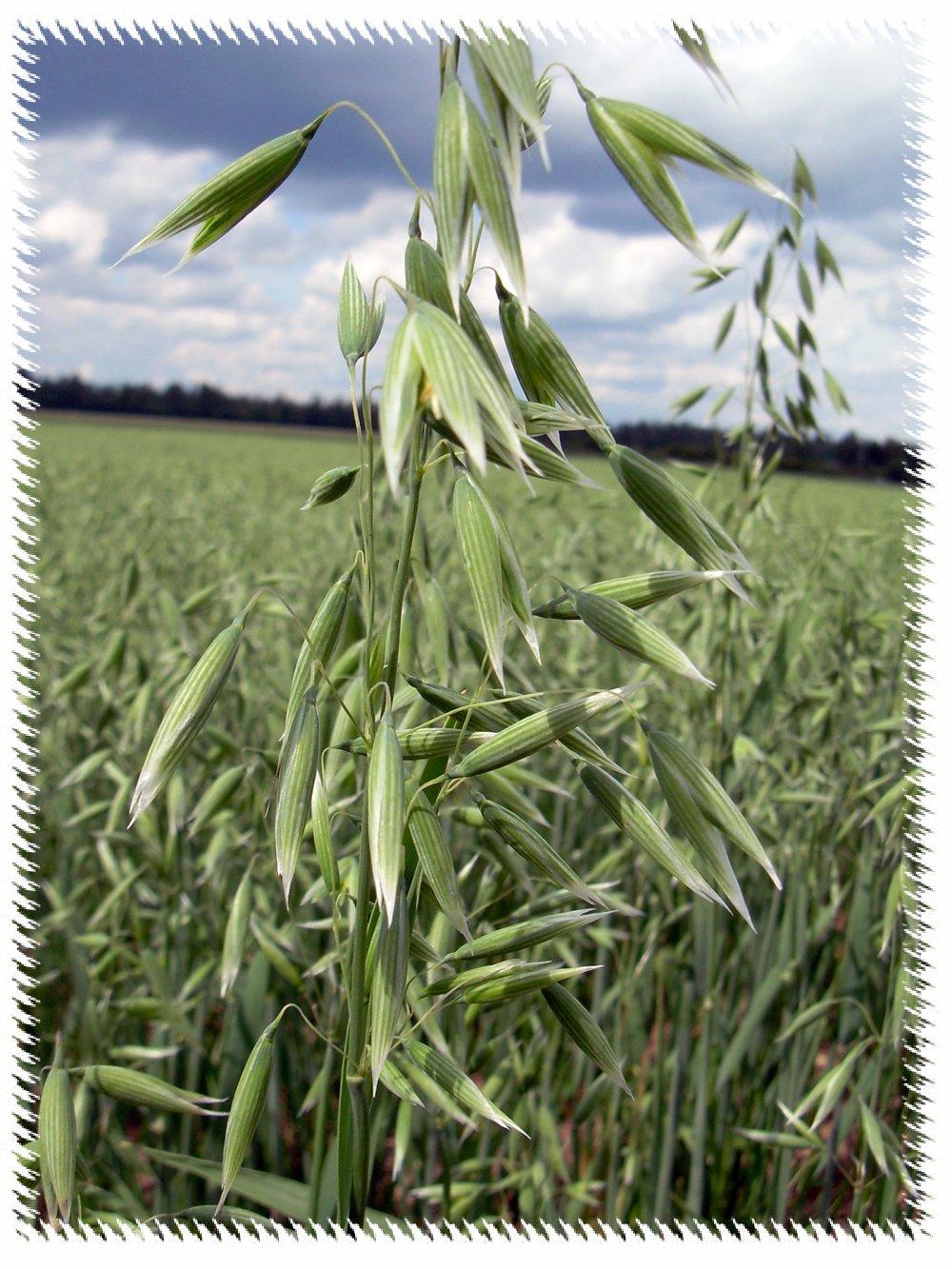 Batang tanaman oat bisa mencapai ketinggian 1,2 meter.