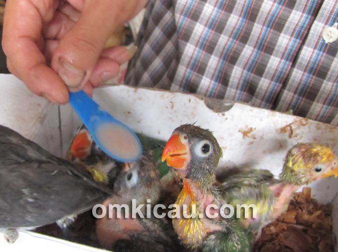 sendok untuk menyuapi anakan lovebird