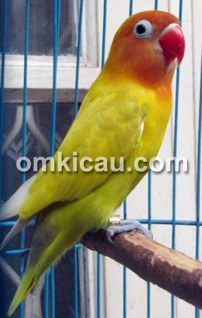 Lovebird golden chery
