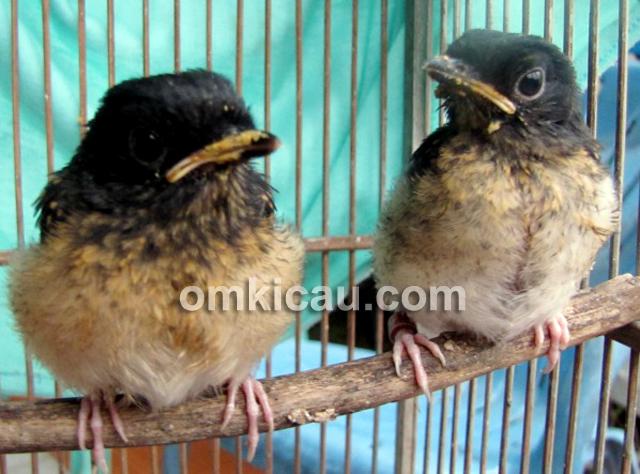 Anakan murai batu produk Tiara Bird Farm Bekasi.