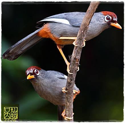 Perawatan Burung Poksay Genting Om Kicau