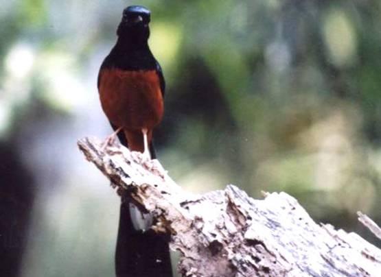 Murai batu jenis burung yang paling banyak diburu untuk dibawa ke luar Aceh