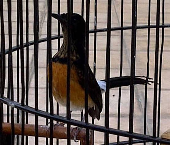 Murai batu yang sudah berumur 67 hari dan bisa dimaster dengan suara burung lain