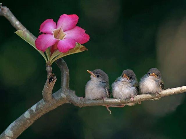 Anakan burung ciblek di habitatnya