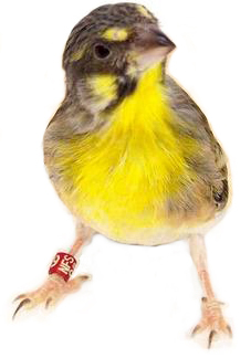 Lemon breasted canary
