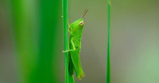 Belalang hijau sebagai pakan alternatif bagi branjangan