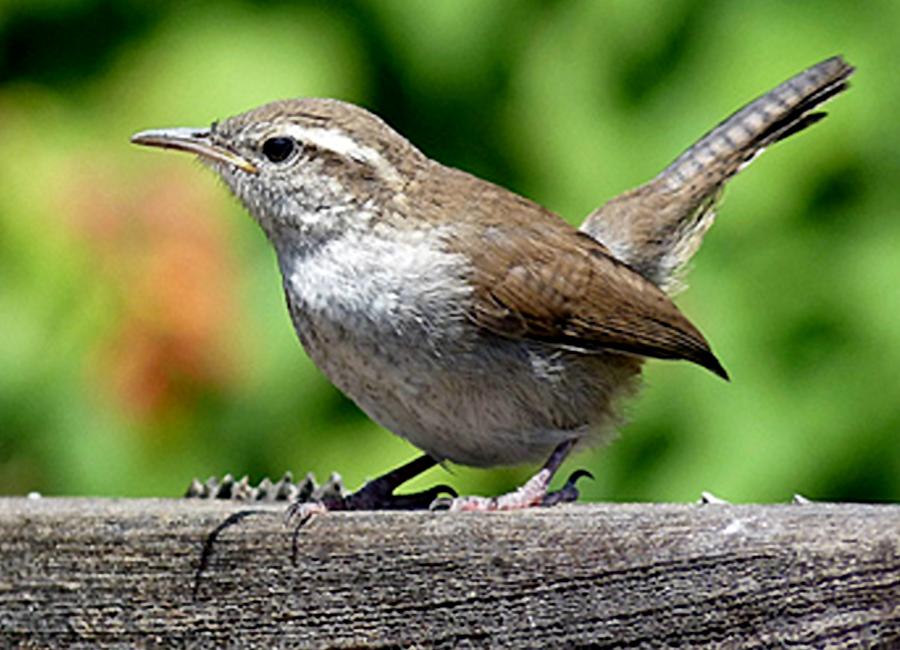 Anakan burung bewick's wren