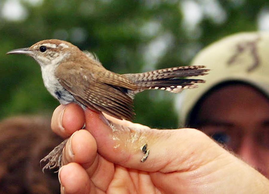 Burung bewick's wren