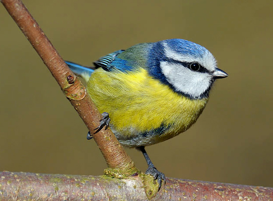 audio burung blue tit