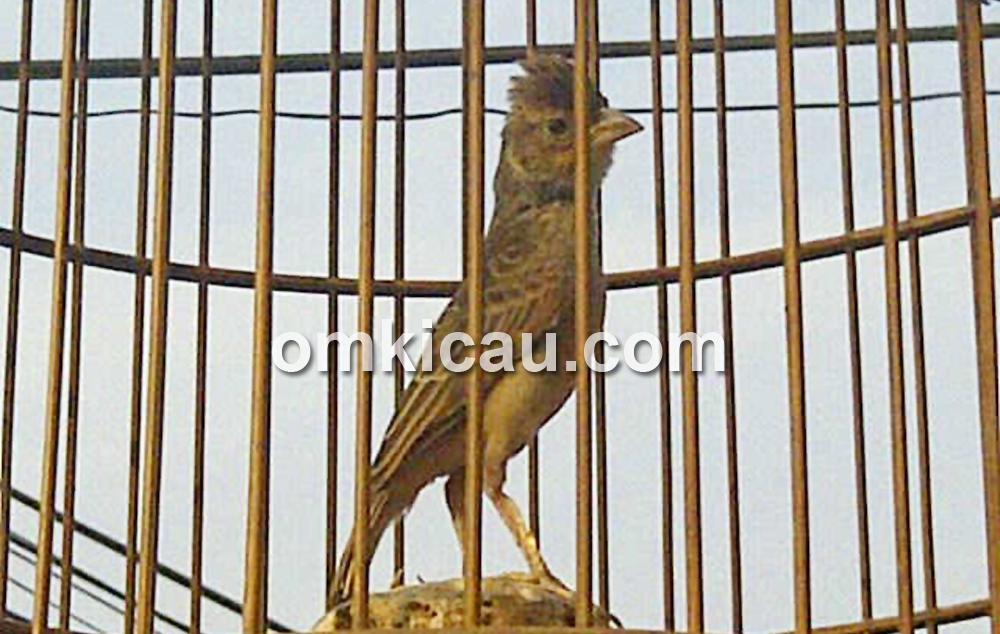 burung branjangan jawara
