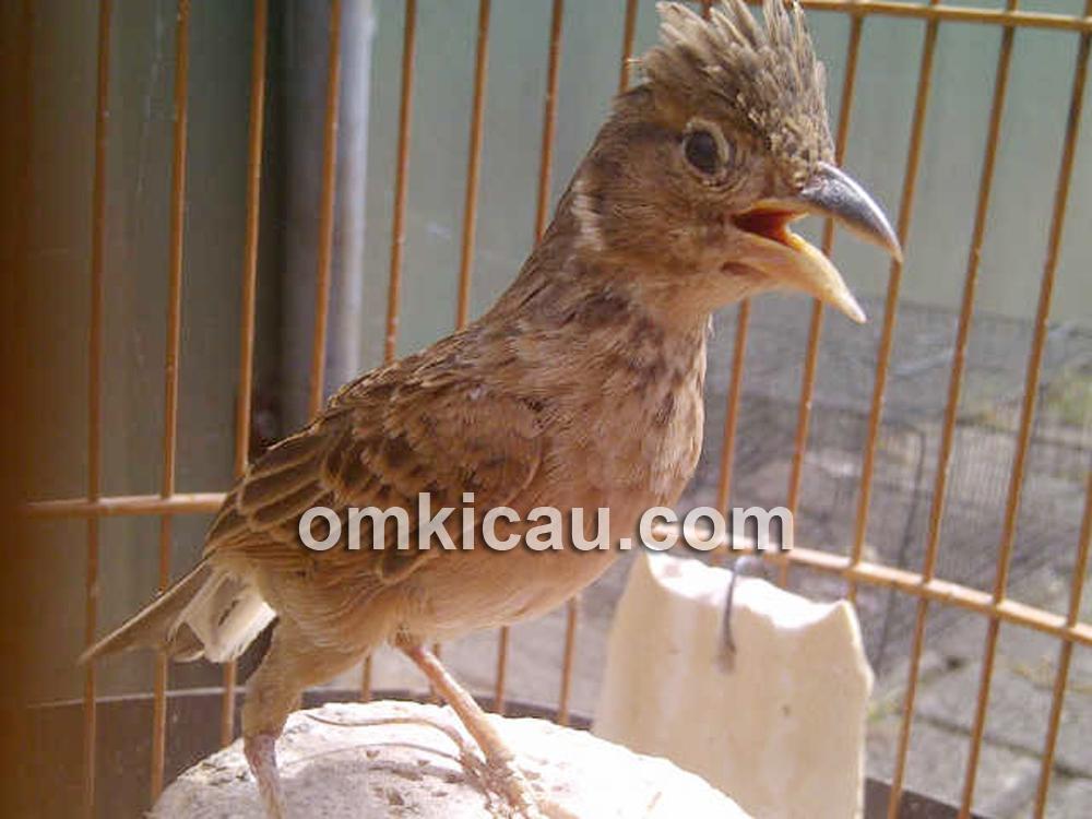 burung branjangan