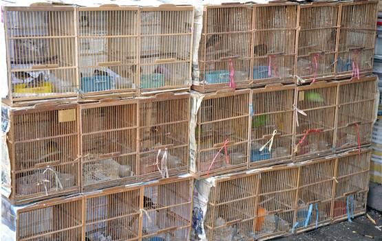 Burung bakalan di pasar burung