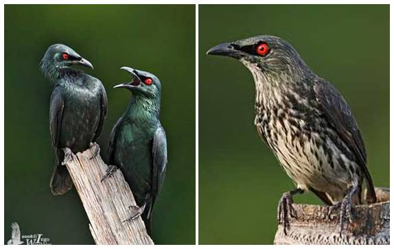 Perbedaan antara burung camperling dewasa dan masih muda (kanan)