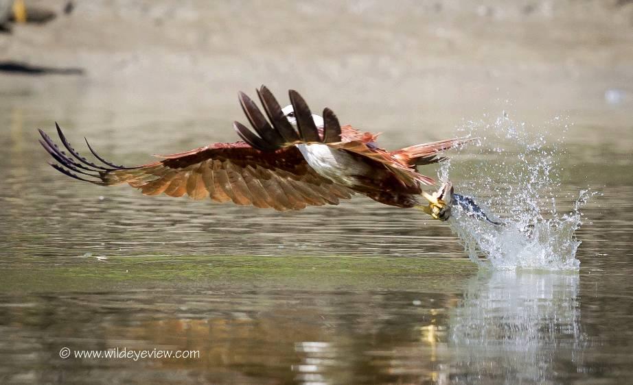 Elang bondol yang sedang berburu ikan