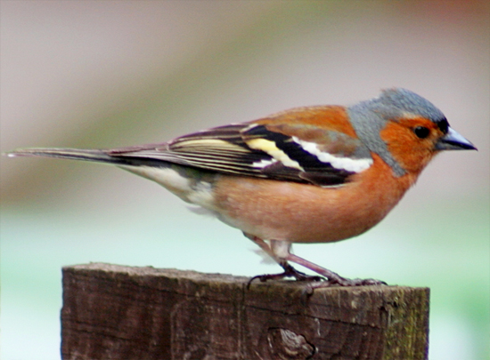 audio burung chaffinch