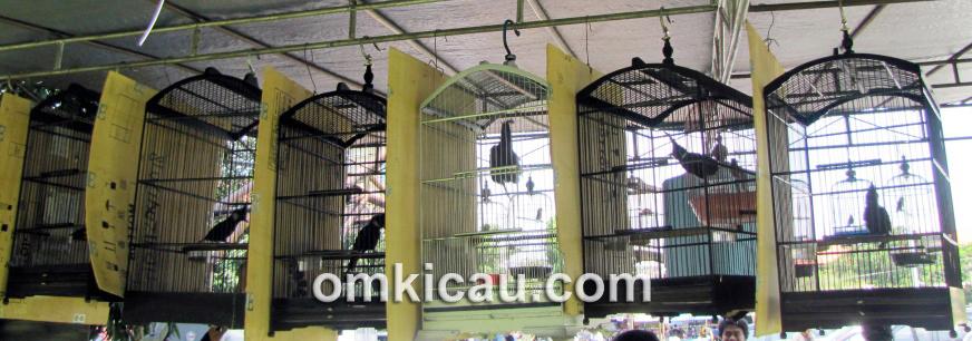 cara merawat burung puyuh dengan baik usaha ternak mas