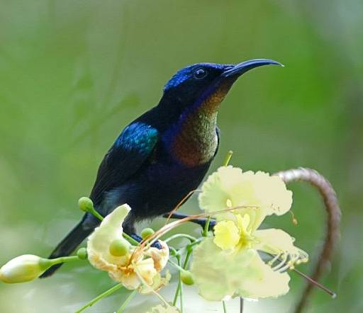 Burung madu bakau
