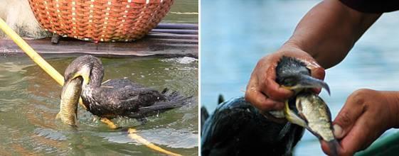 Ikan yang didapat langsung di keluarkan dari paruhnya