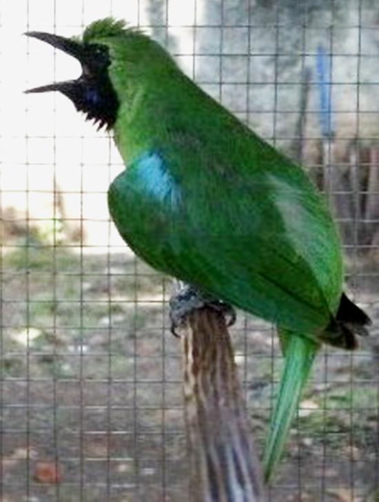 Cucak hijau Aspal