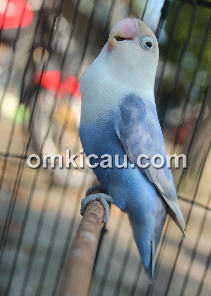 Lovebird Elang Biru