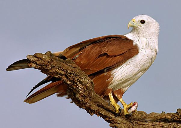 Populasi elang bondol di sejumlah daerah terancam punah