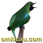 feat cucak hijau aspal