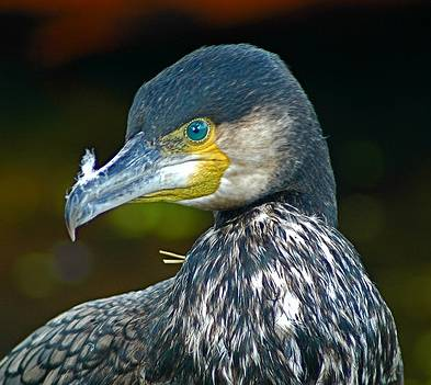 Burung kormoran