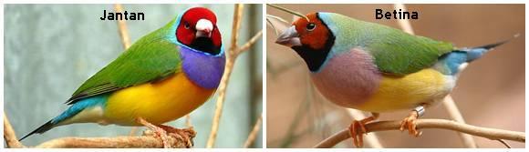 Gouldian finch kepala merah, jantan sebelah kiri dan betina sebelah kanan