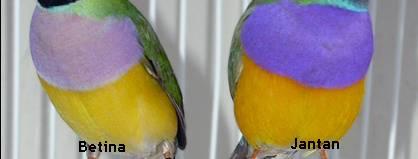 Warna ungu pada bagian dada burung jantan (kanan) tampak berwarna lebih tua dibanding betina yang berwarna lebih muda (kiri)