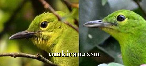Cucak hijau yang masih berusia muda, burung betina (kanan) pinggiran paruh bawahnya berwarna keputihan sementara jantan yang ada sebelah kiri berwarna full hitam