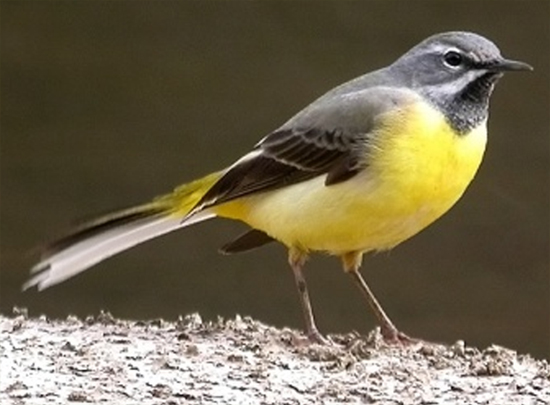 audio burung grey wagtail