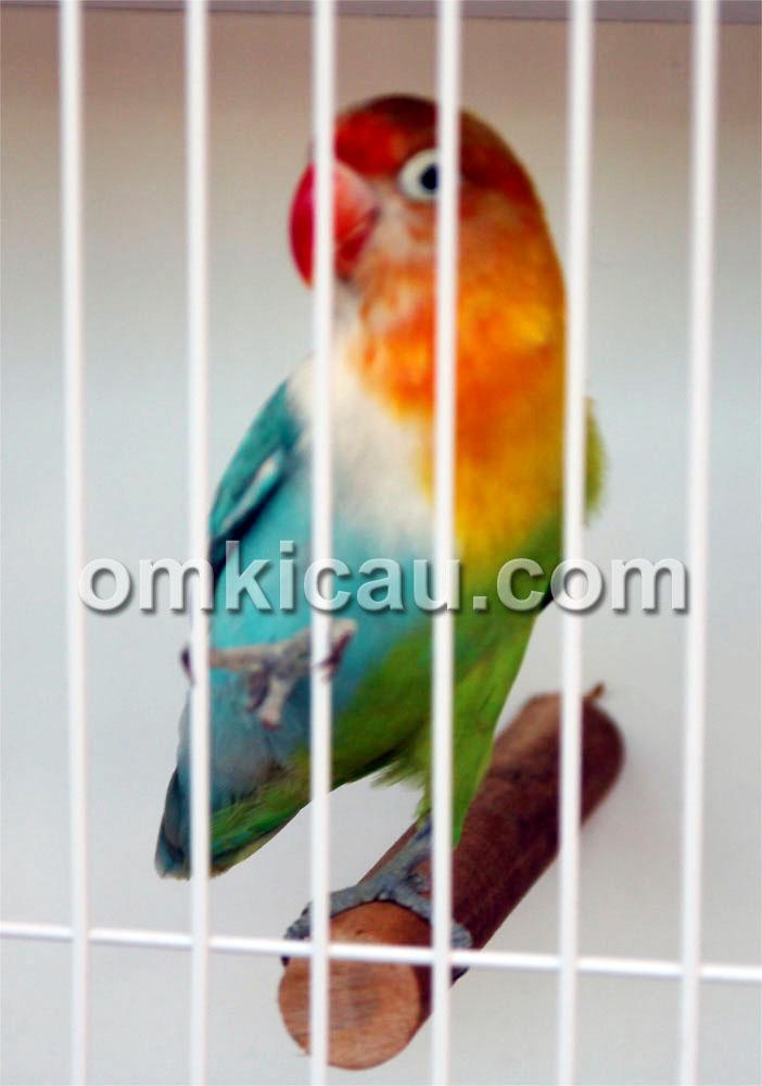 Lovebird Halsider Setengah Dewa