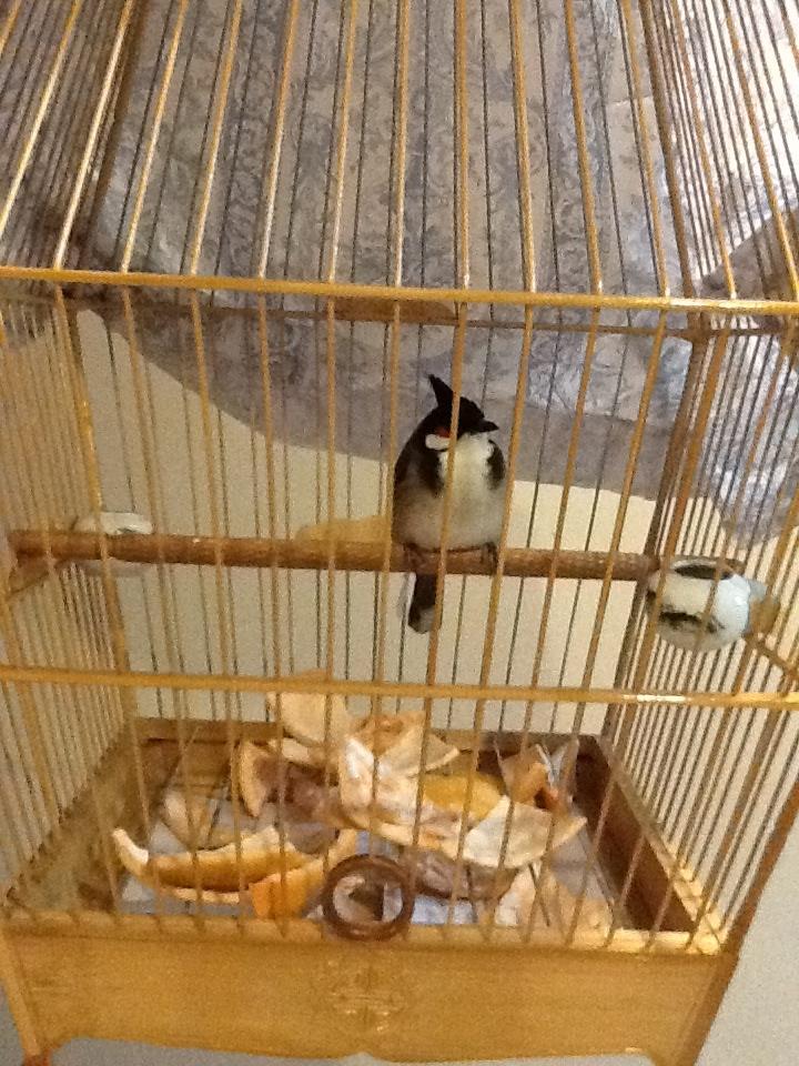 Burung kutilang yang diterapi dengan kulit jeruk