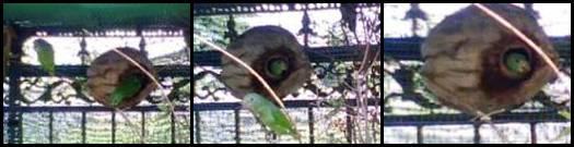 Penangkaran nuri tanau dengan buah kelapa sebagai tempat bersarangnya