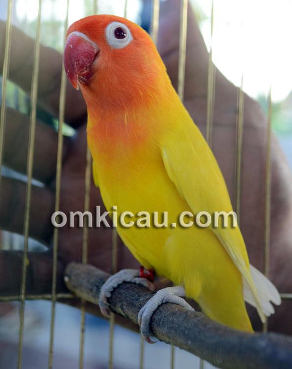 Lovebir Potereh Kuning