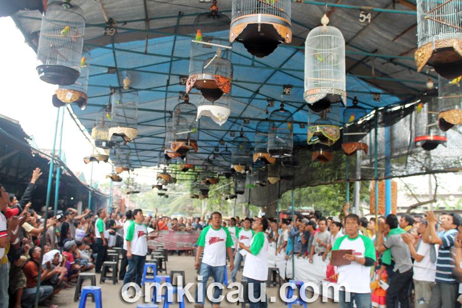 Suara burung lovebird di arena Latpres PB Cipinang
