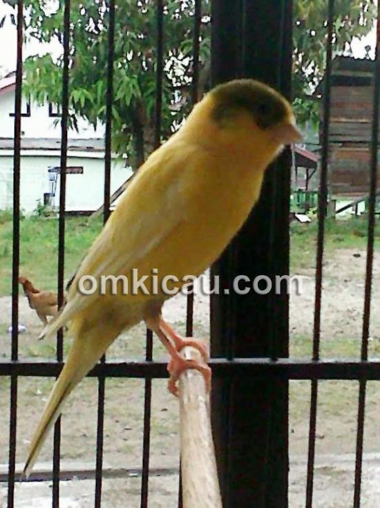 Burung kenari Mustika