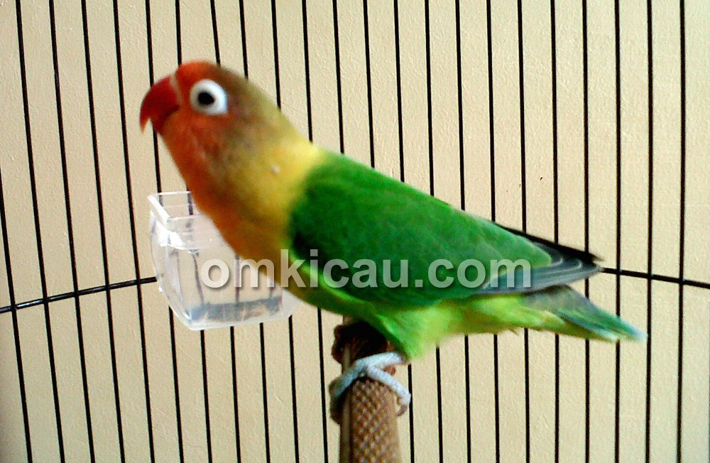 Lovebird Kirana