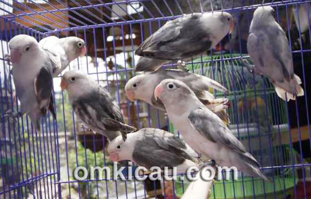 Lovebird black series