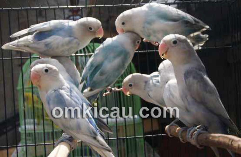 Lovebird blue series