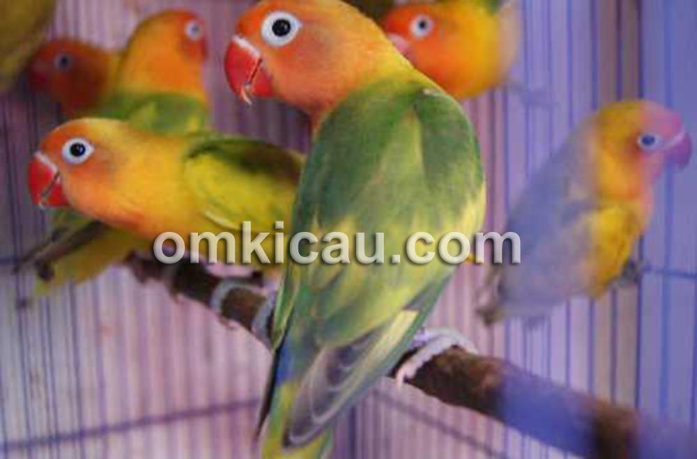 Lovebird green series