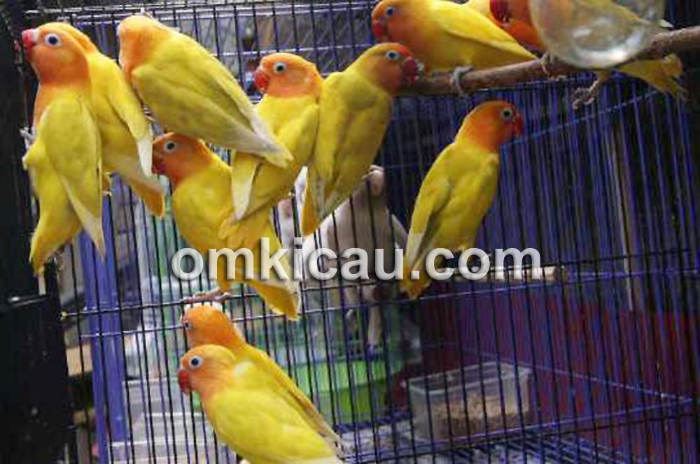 warna warni lovebird trisakti bf klub burung
