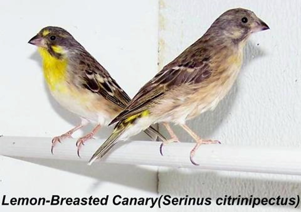 Serinus citrinipectus
