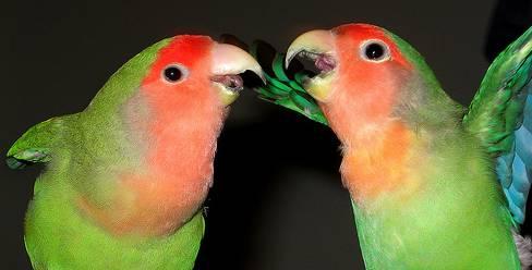 Selalu memperhatikan perkembangan mereka merupakan kunci sukses dalam menangkar lovebird