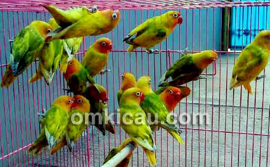 Lovebird Warna Cantik