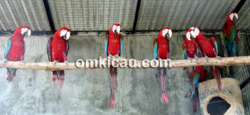 Penangkaran burung macaw